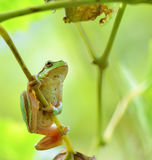 Australian Green Tree Frog sitting on a vine Royalty Free Stock Images