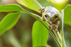 Australian Green Tree Frog Stock Image