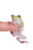Australian Green Tree Frog on white background Royalty Free Stock Photography