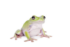 Australian Green Tree Frog on white background Stock Photos