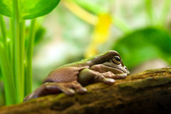 Australian green tree frog Royalty Free Stock Image