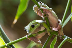 Australian Green Tree Frogs. Two Australian Green Tree Frog on a leaf Royalty Free Stock Images