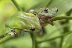 Australian Green Tree Frogs. Two Australian Green Tree Frogs on a leaf Stock Photos