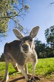Australian Grey Kangaroo Stock Photo