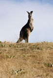 Australian Grey Kangaroo Royalty Free Stock Photos