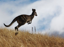 Australian Grey Kangaroo Stock Photo