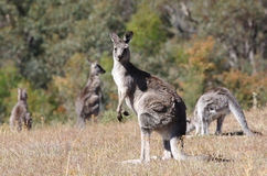 Australian Grey Kangaroo Stock Photos