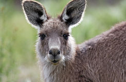 Australian Grey Kangaroo Stock Images
