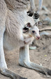 Australian grey kangaroo baby or joey in pouch stock photos