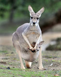 Australian grey kangaroo baby or joey in pouch Stock Images