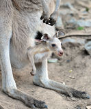 Australian grey kangaroo with baby/joey in pouch Royalty Free Stock Image