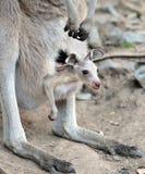 Australian grey kangaroo with baby/joey in pouch. Australian kangaroo with baby/joey in her pouch , queensland, australia, exotic mammal / marsupial in tropical Royalty Free Stock Image