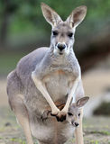 Australian grey kangaroo with baby/joey in pouch royalty free stock photo