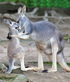 Australian grey kangaroo embraces baby or joey Royalty Free Stock Photography