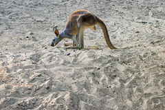 Australian grey kangaroo hopping against blue sky Stock Photography