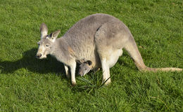 Australian grey kangaroo with joey in her pouch. On a grassy field Royalty Free Stock Images