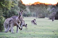 Australian grey kangaroos grazing on fresh grass farm paddock