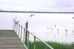 Australian birds flying onto jetty. Australian gulls landing on jetty watched by magpie Stock Photography