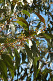 Australian Gum Leaves. Close shot of gum leaves, gum nuts and a sunny Australian sky stock images