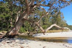 Australian Gum by an ocean inlet Royalty Free Stock Photos