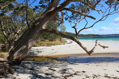 Australian Gum. This photo shows a Gum tree leaning over an ocean inlet on Murrays Beach, Jervis Bay. The ocean can be seen in the background royalty free stock images