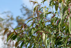 Australian gum tree Corymbia citriodora leaves Royalty Free Stock Photo