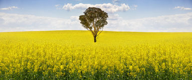 Australian gum tree in field of canola Royalty Free Stock Photo