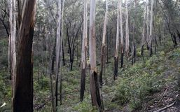 Australian Gum Trees. Wood of trees, bark peeling off Stock Photos