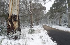 Australian gum trees in the snow. Australian gum trees dusted with light powdery snow in wintr royalty free stock photo