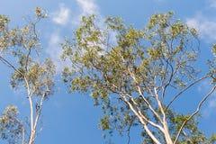 Australian Gum Trees Eucalyptus Citriodora Royalty Free Stock Images