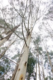 Australian gum trees. A group of tall gum trees towering towards the sky Royalty Free Stock Image