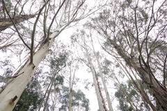 Australian gum trees. A group of Australian gum trees towering skyward Stock Photo