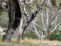 Australian Gum Trees Landscape Royalty Free Stock Photos