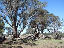 Australian Gum Trees Landscape Royalty Free Stock Photo