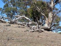 Australian Gum Trees Landscape Royalty Free Stock Images