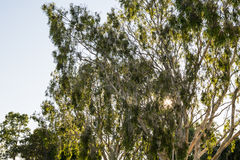Australian Gum Trees Stock Photography