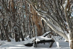 Australian gum trees in the snow. A close-up of tree trunks covered in snow. The bark is peeling from some of the trunks, and the trunks are different colours Royalty Free Stock Image