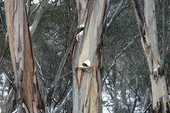 Australian gum trees in the snow. A close up of the trunks of Australian gum trees in the snow. The stems are a variety of clours and the bark is peeling Royalty Free Stock Photography