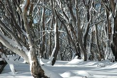 Australian gum trees in the snow. A snow covered forest of Australian gum trees. The trunks have different colors on the bark. There are no footprints in the Royalty Free Stock Photo