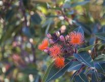 Australian Gumnut blossoms Stock Photography