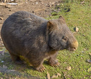 Australian hairy nosed wombat. Adult Australian hairy nosed wombat taking a stroll across the grass Stock Photos