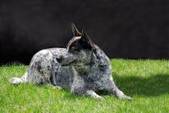 Australian heeler dog Royalty Free Stock Images