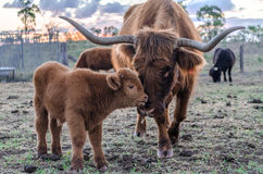 Australian Highland. A two week old Highland calf gets a nudge from its mother. Queensland, Australia stock images