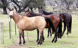 Australian Horse Royalty Free Stock Images