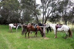 Australian Horse Royalty Free Stock Photo