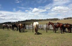 Australian Horse royalty free stock photos