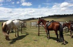 Australian Horse stock photos