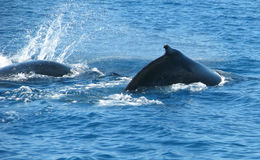 Australian Humpback Whales. Two Australian Humpback Whales breaching the water Stock Images