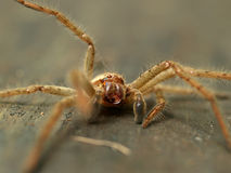 Australian Huntsman spider. (Sparassidae) or wood spider (shallow depth of field Stock Photos