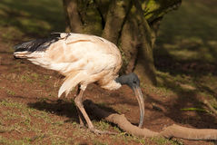 Australian Ibis Stock Image